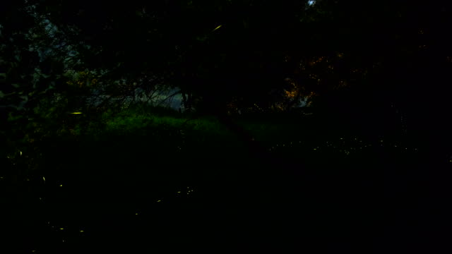 swarm of fireflies amongst trees and grass in geumsangun, chungcheongbuk-do - glowworm stock videos & royalty-free footage