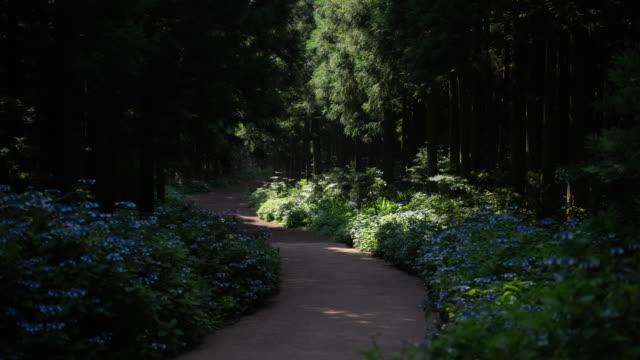 vídeos de stock e filmes b-roll de swarm of fireflies on walkway of saryeoni forest path / bijarim-ro, jeju-si, jeju-do, south korea - pirilampo escaravelho