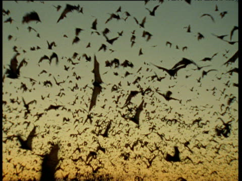 Swarm of Flying Foxes flies past camera, Australia