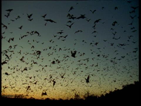 Swarm of Flying Foxes flies towards camera, Australia