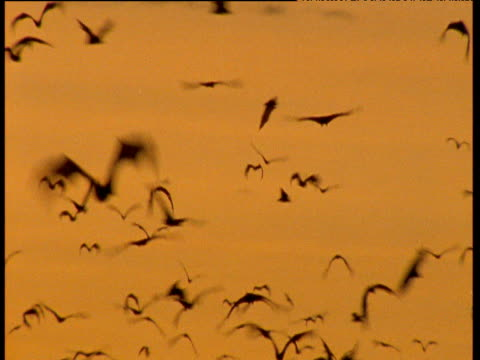 swarm of flying foxes flying at sunrise, australia - phobia stock videos and b-roll footage