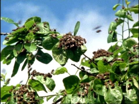 ms swarm of honey bees (apis mellifera) clustered on tree leaves, england - ブンブン鳴る点の映像素材/bロール