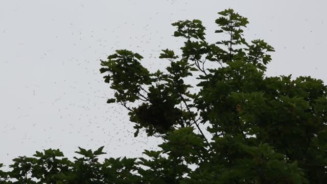 a swarm of honey bees collecting in a tree in solva, wales, uk. - ペンブローク点の映像素材/bロール