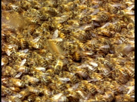 cu swarm of honey bees crawl over each other, pan left to hive entrance - ブンブン鳴る点の映像素材/bロール