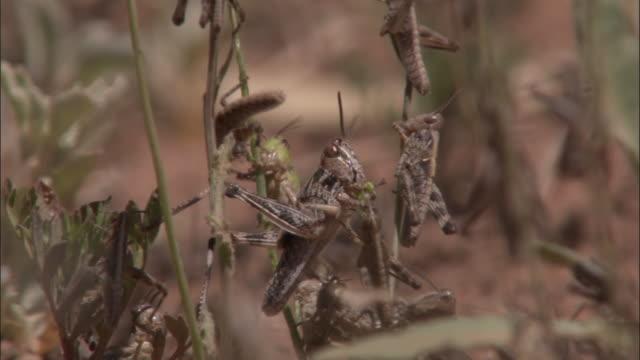 A swarm of locusts crawls on plant stems.