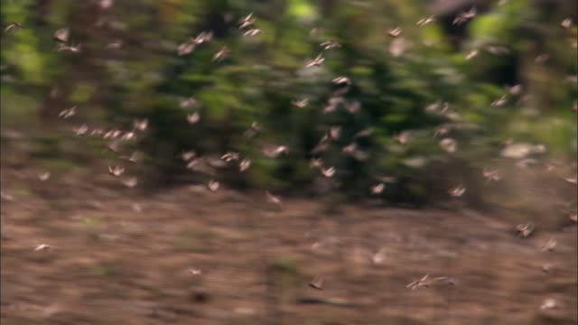 swarm of locusts (locusta migratoria) flies over farmland, madagascar - east africa stock videos & royalty-free footage