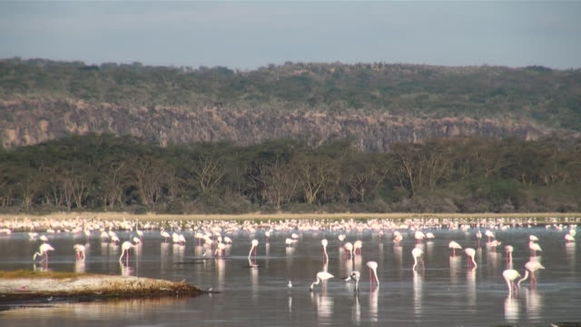 WS Swarm of pelicans on bank of lake nakuru with cliffs in early morning light AUDIO / Nakuru, Rift Valley, Kenya