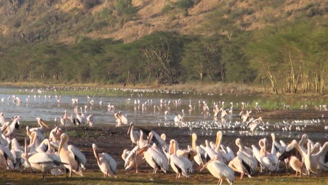 MS Swarm of pelicans on lake nakuru with cliffs in early morning light AUDIO / Nakuru, Rift Valley, Kenya