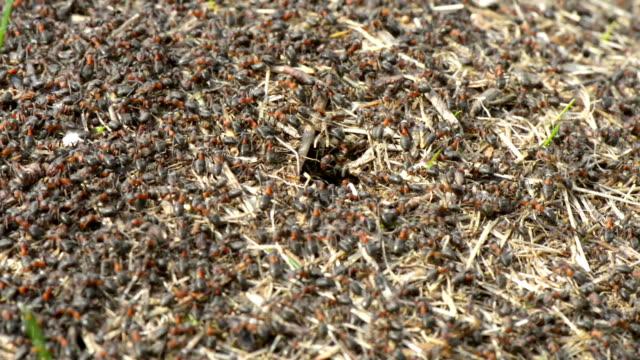 Swarming Ameisenhügel