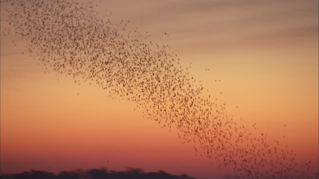 vídeos de stock e filmes b-roll de swarming tree swallows undulate across a pink and purple sky. - emotion