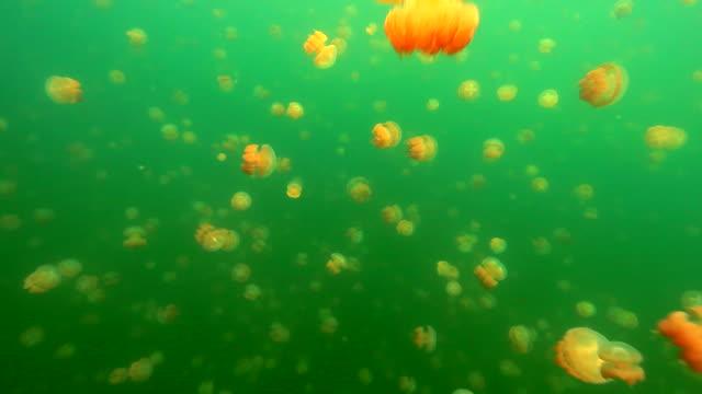 vidéos et rushes de swarms of jellyfish under the sea - groupe de mammifères marins