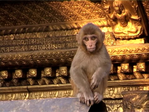 swayambhunath stupa with monkey on golden roof - golden roof stock videos and b-roll footage