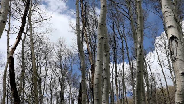 swaying aspen trees - swaying stock videos & royalty-free footage