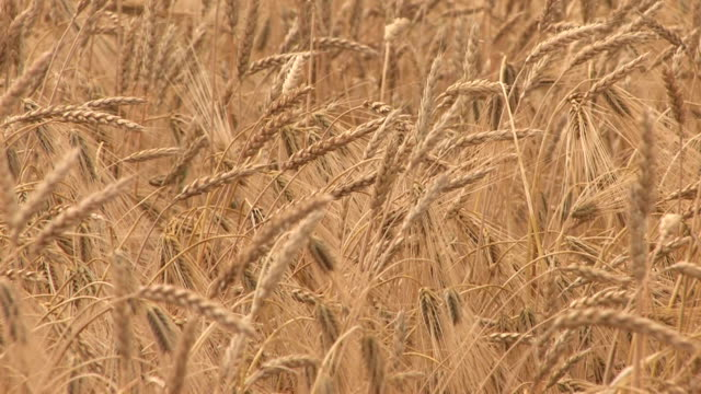 hd swaying golden wheat ears - hd 25 fps stock videos & royalty-free footage