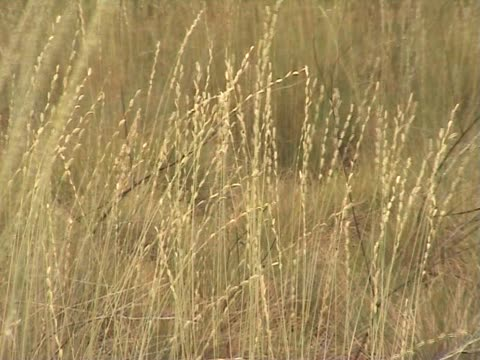 stockvideo's en b-roll-footage met swaying grass - volkorentarwe