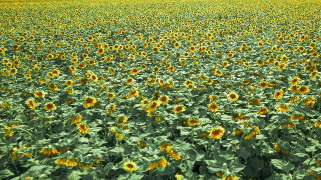 aerial swaying sunflowers in the vast field - sunflower stock videos & royalty-free footage