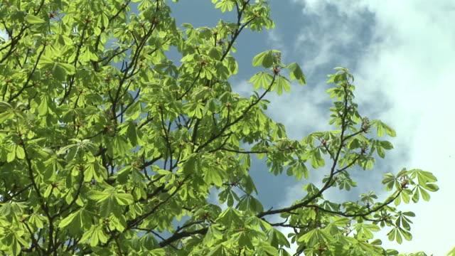 HD: Swaying treetop