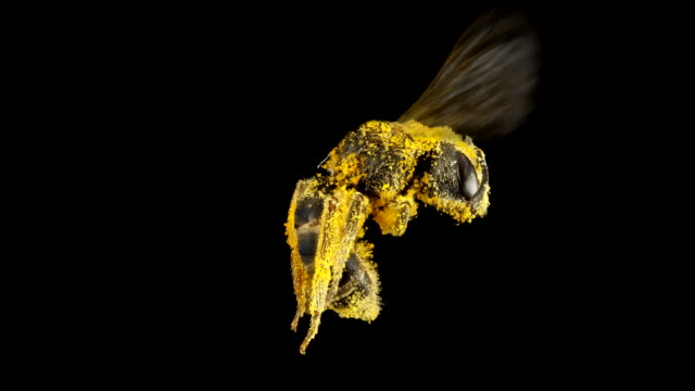 sweat bee 4k - pollination stock videos & royalty-free footage