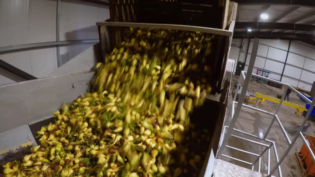 swede is tipped into a container ahead of being trimmed - crucifers stock videos & royalty-free footage