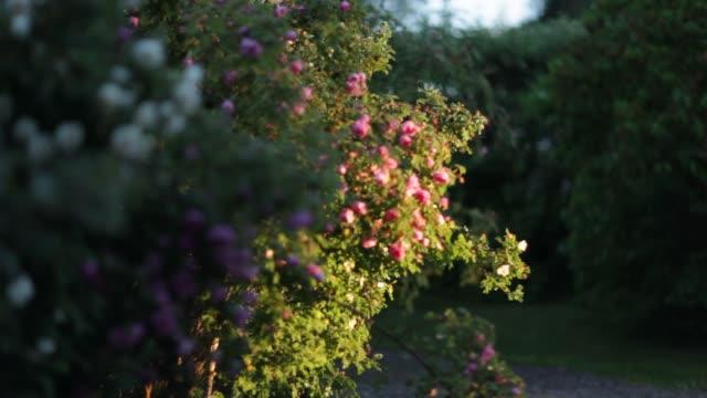 swedish summer nature - rose stock videos & royalty-free footage