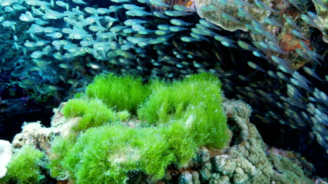 sweeper fish on a reef - great barrier reef stock videos & royalty-free footage