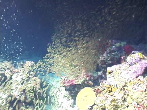 vídeos y material grabado en eventos de stock de sweepers schooling over coral reef - menos de diez segundos