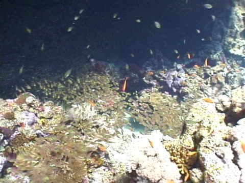 sweepers schooling over coral reef - invertebrate stock videos & royalty-free footage