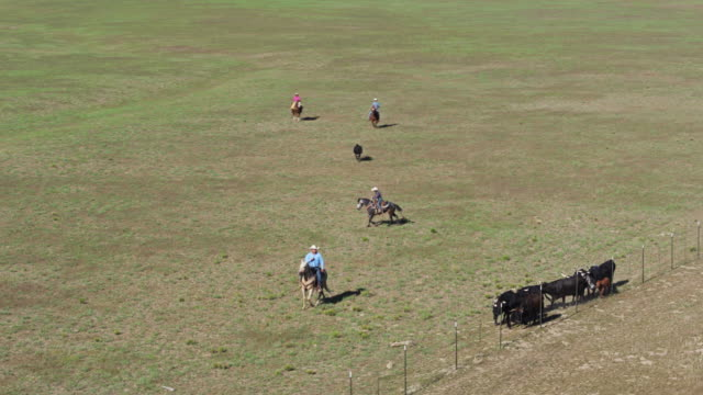 sweeping drone shot of cattle wrangling on utah ranch - herding cattle stock videos & royalty-free footage