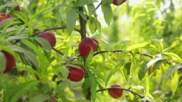 Sweet and Ripe nectarines or peaches on the tree.