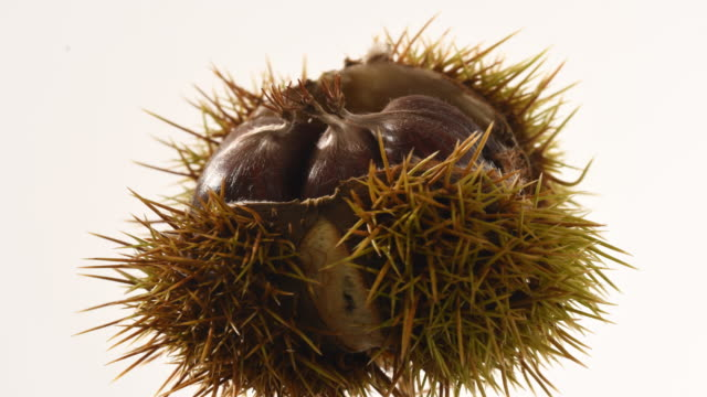 sweet chestnut spiky case splits opens to reveal 3 edible nuts time lapse. castanea sativa - plant pod stock videos & royalty-free footage
