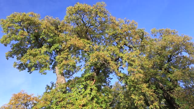 sweet chestnut tree, (castanea sativa), rockingham forest near the village of deene, northamptonshire, england, uk - northamptonshire stock videos & royalty-free footage