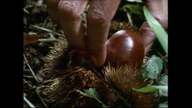 cu sweet chestnuts being foraged in woodland; 1989 - foraging stock videos & royalty-free footage