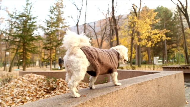 sweet fall poodle puppy - dog coat stock videos and b-roll footage