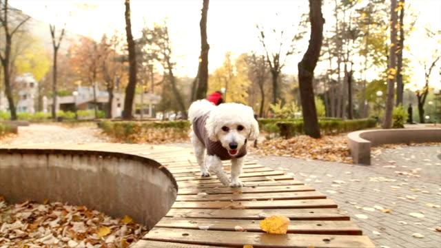 vídeos de stock, filmes e b-roll de sweet outono de poodle cachorrinho - casaco curto com mangas