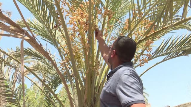 vídeos de stock e filmes b-roll de sweet iraqi dates adorn tables in homes across the country but the fruit tree and national symbol has come under threat from conflict and crippling... - bassorá