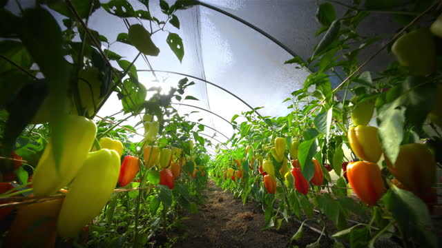 sweet peppers in greenhouse on organic farm, oregon - vegetable stock videos & royalty-free footage