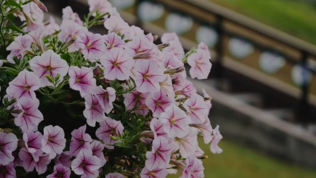 sweet petunia flower in hanging pot moving in wind - hanging stock videos & royalty-free footage