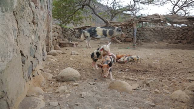 sweet pietrain piglet in pigsty on santo antao - cape verde islands - gruppo medio di animali video stock e b–roll