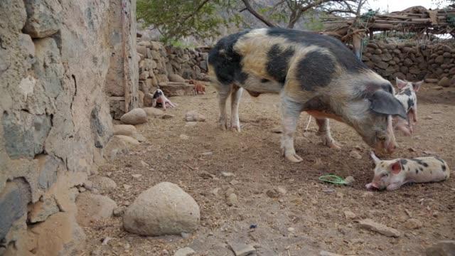 stockvideo's en b-roll-footage met sweet pietrainbeer biggen in de varkensstal op santo antao - kaapverdische eilanden - keus
