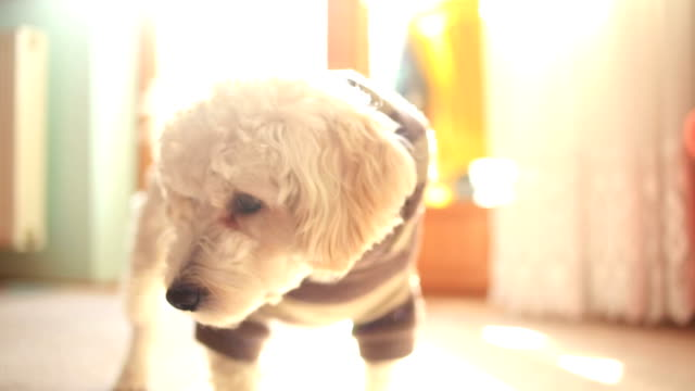sweet poodle puppy - dog coat stock videos and b-roll footage