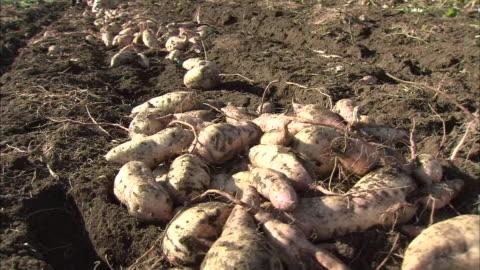 sweet potato harvest - sweet potato stock videos & royalty-free footage
