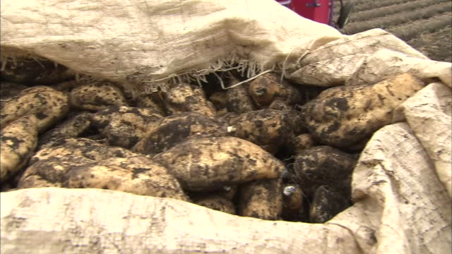 sweet potato harvest - raw potato stock videos & royalty-free footage