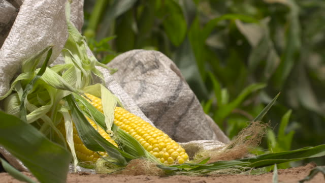 sweetcorn crop during harvest, senegal - land stock videos & royalty-free footage