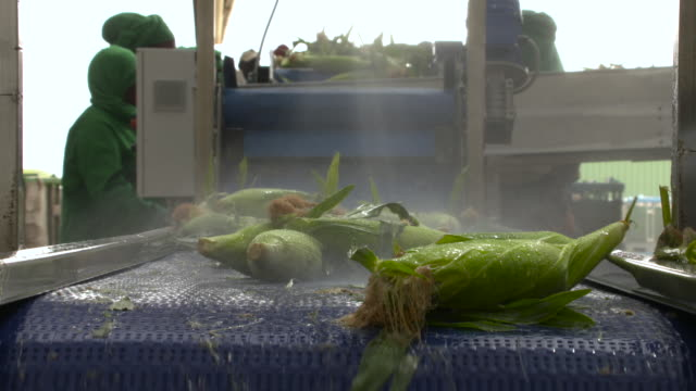 sweetcorn on conveyor belt, senegal - washing stock videos & royalty-free footage
