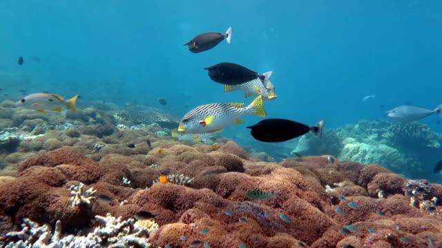 vídeos de stock, filmes e b-roll de unicórnio sweetlip de peixes e peixes - ponto de vista de mergulhador