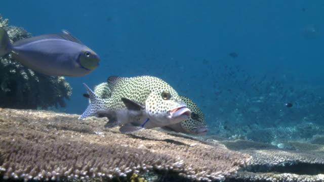 vídeos de stock e filmes b-roll de sweetlips (fish) e bodião-limpador 2-full hd - labro