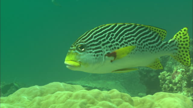sweetlips, at cleaning station, facing over coral borneo, malaysia, southeast asia - gelb stock-videos und b-roll-filmmaterial