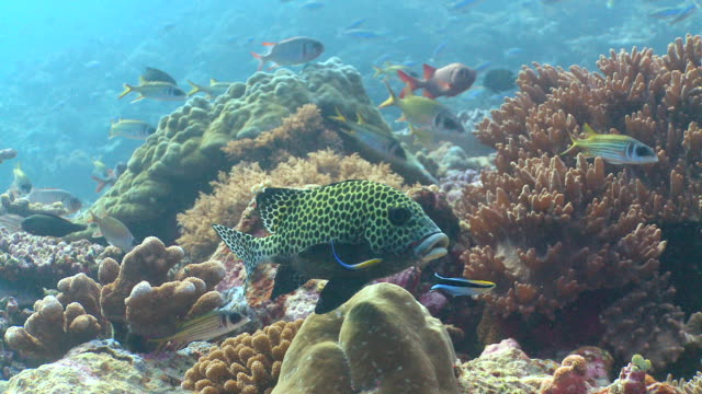 ms ts sweetlips being cleaned in coral / layang layang, sabah, malaysia - 共生関係点の映像素材/bロール