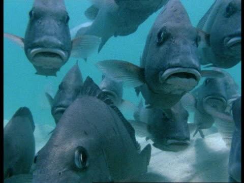 sweetlips fish (plectorhynchus pictus) group resting, great barrier reef - sweetlips stock videos & royalty-free footage