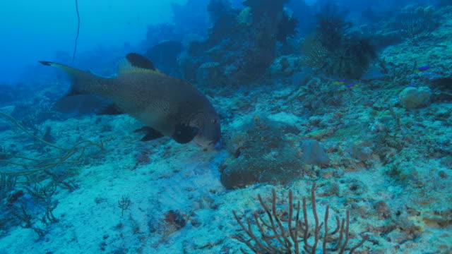sweetlips fish swimming underwater - sweetlips stock videos & royalty-free footage